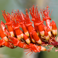 Common Wildflowers - Fouquieria splendens – Ocotillo