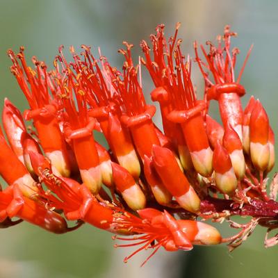 Fouquieria splendens - Ocotillo, Candlewood, Coach Whip, Coachwhip (flowers)