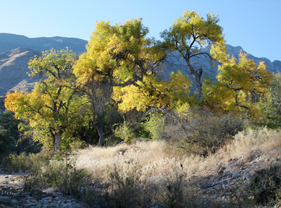 Fraxinus velutina - Velvet Ash (fall foliage)