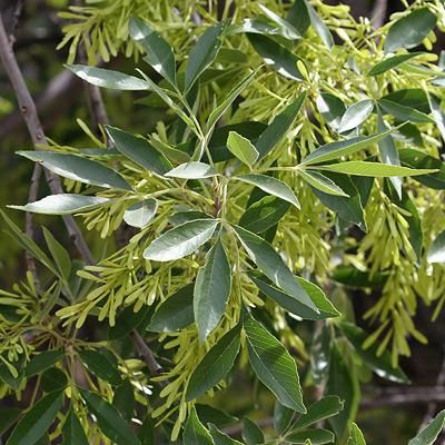 Fraxinus Velutina Velvet Ash Southeastern Arizona