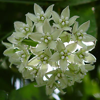 Green Flowers - Funastrum cynanchoides – Fringed Twinevine