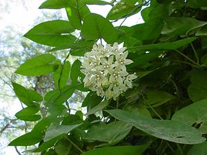 Funastrum cynanchoides - Fringed Twinevine, Climbing Milkweed