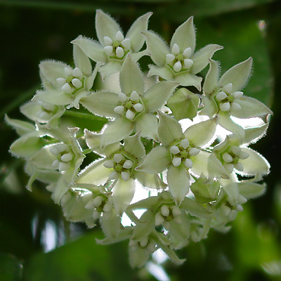 Funastrum cynanchoides - Fringed Twinevine, Climbing Milkweed (greenish white flowers)