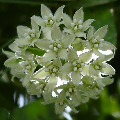 Funastrum cynanchoides - Fringed Twinevine, Climbing Milkweed (greenish white flowers)