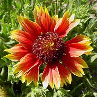 Red Flowers - Gaillardia pulchella – Firewheel