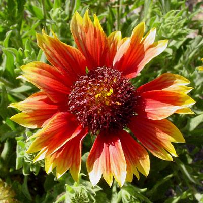 Gaillardia pulchella - Firewheel, Indian Blanket, Blanket Flower