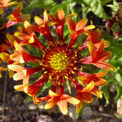 Gaillardia x grandiflora 'Fanfare' - Gaillardia 'Fanfare', 'Fanfare' Blanket Flower, 'Fanfare' Blanketflower