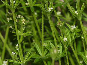 Galium aparine - Stickywilly, Common Bedstraw, Goose Grass, Goosegrass, Cleavers, Catchweed Bedstraw, Cleaverwort, Scarthgrass, White Hedge