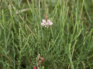 Gaura coccinea - Scarlet Beeblossom, Scarlet Gaura