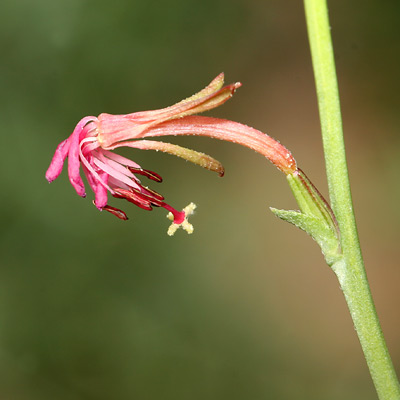 Gaura hexandra - Harlequinbush, Harlequin-bush (flower)