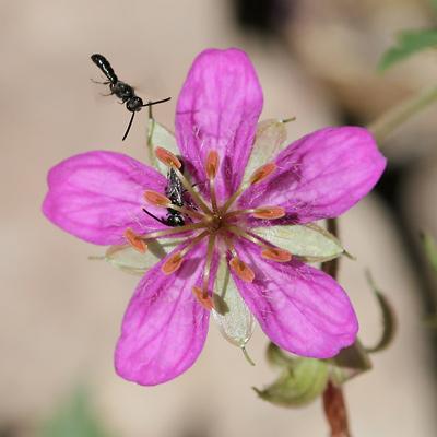 Geranium caespitosum - Pineywoods Geranium, Purple Cluster Geranium, Purple Geranium, Purple Wild Geranium, Wild Geranium, Tufted Geranium (flower)