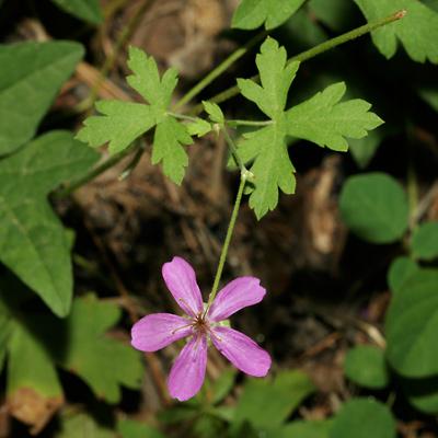 Geranium caespitosum - Pineywoods Geranium, Purple Cluster Geranium, Purple Geranium, Purple Wild Geranium, Wild Geranium, Tufted Geranium