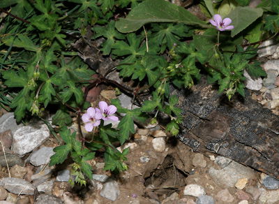 Geranium richardsonii - Richardson's Geranium, Richardson Geranium