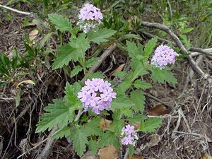 Glandularia gooddingii - Southwestern Mock Vervain, Goodding's Verbena