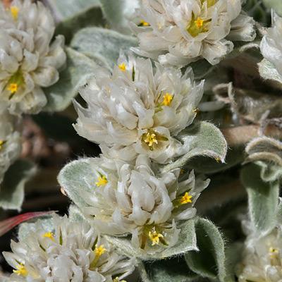 Gomphrena caespitosa - Tufted Globe Amaranth