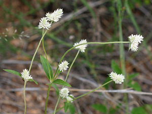 Gomphrena sonorae - Sonoran Globe Amaranth