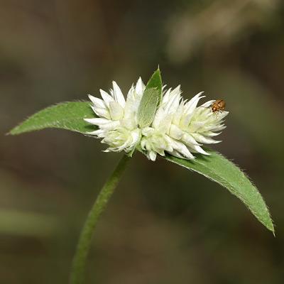 Gomphrena sonorae - Sonoran Globe Amaranth (white flowers)