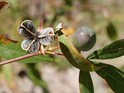 Gossypium thurberi - Thurber's Cotton, Desert Cotton (seed capsules)