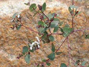 Guardiola platyphylla - Apache Plant, Guardiola