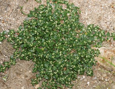 Guilleminea densa - Small Matweed