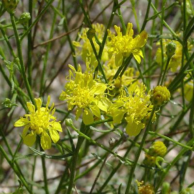 Gutierrezia serotina - Late Snakeweed