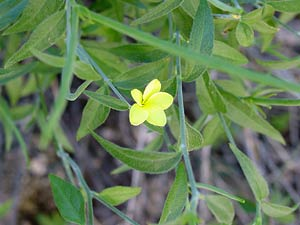 Haplophyton crooksii - Cockroachplant, Cockroach Plant