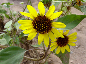 Helianthus annuus - Common Sunflower, Wild Sunflower