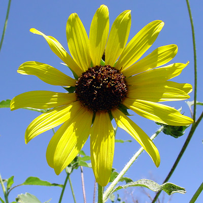 Helianthus annuus - Common Sunflower, Wild Sunflower
