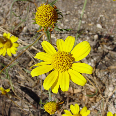 Heliomeris longifolia - Longleaf False Goldeneye