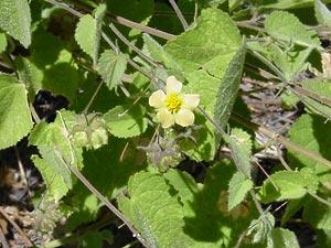 Herissantia crispa - Bladdermallow, Herissantia, Curly Bladder Mallow