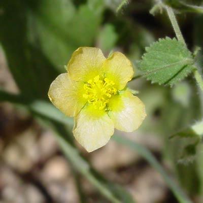 Herissantia crispa - Bladdermallow, Herissantia, Curly Bladder Mallow (yellow flower)