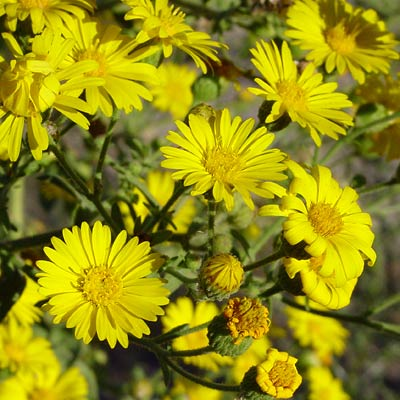 Heterotheca subaxillaris - Camphorweed, Camphor Weed, Telegraph Plant, Golden Aster