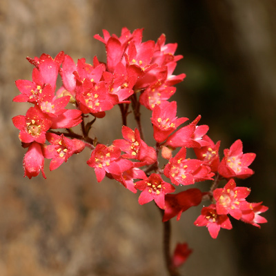 Heuchera sanguinea - Coralbells, Coral Bells (coral-red flowers)