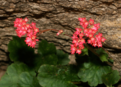 Heuchera sanguinea - Coralbells, Coral Bells
