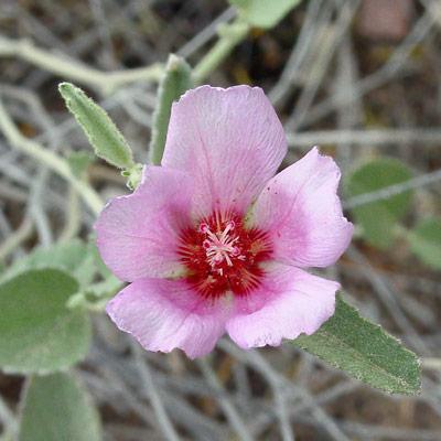 Hibiscus denudatus - Paleface, Rock Hibiscus, Naked Hibiscus