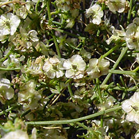 Inconspicuous Flowers - Hymenoclea salsola – Burrobrush