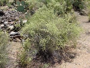 Hymenoclea salsola - Burrobrush, Burro Brush, Cheeseweed
