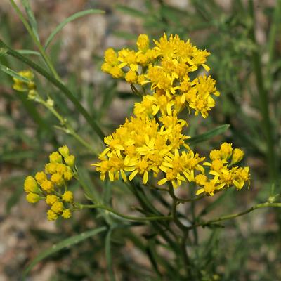 Hymenothrix wislizeni - Trans-Pecos Thimblehead, Yellow Thimblehead, TransPecos Thimblehead (flowers)