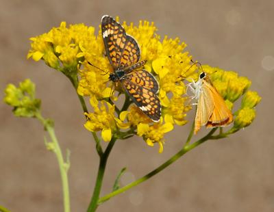 Hymenothrix wislizeni - Trans-Pecos Thimblehead, Yellow Thimblehead, TransPecos Thimblehead (flowers and butterflies)