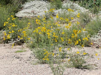 Hymenothrix wislizeni - Trans-Pecos Thimblehead, Yellow Thimblehead, TransPecos Thimblehead