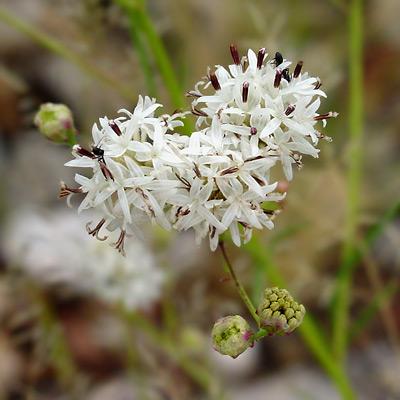 Hymenothrix wrightii - Wright's Thimblehead, Wright Beeflower
