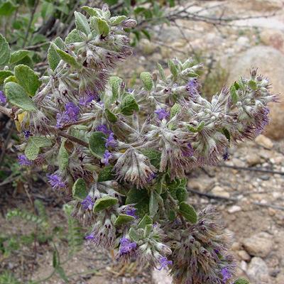 Hyptis emoryi - Desert Lavender