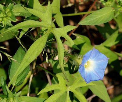 Ipomoea barbatisepala - Canyon Morning-glory, Canyon Morning Glory