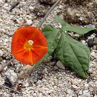 Red Flowers - Ipomoea cristulata – Trans-Pecos Morning-glory