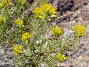 Isocoma tenuisecta - Burroweed, Burro Weed