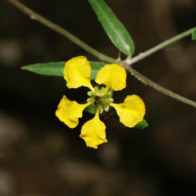 Janusia gracilis - Slender Janusia (flower)