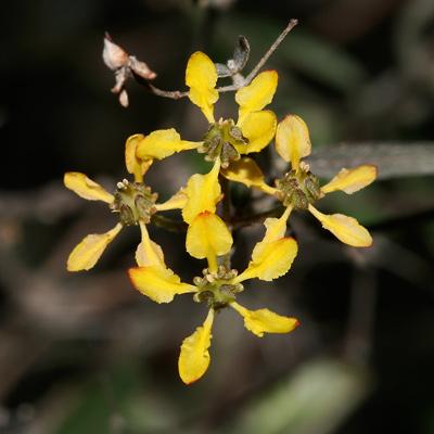 Janusia gracilis - Slender Janusia (flowers)