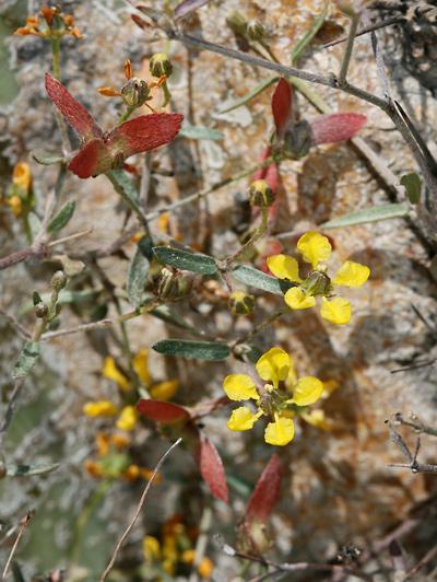 Janusia gracilis - Slender Janusia