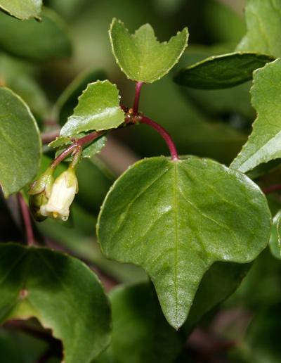 Jatropha cardiophylla - Sangre de Cristo, Heartleaf Limberbush (flower)