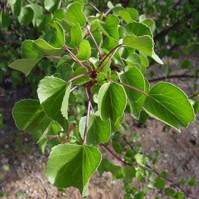 Jatropha cardiophylla - Sangre de Cristo, Heartleaf Limberbush